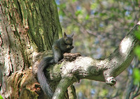 Black-Squirrel